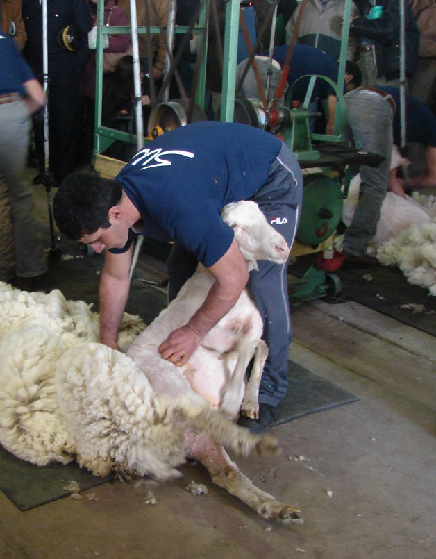 Tally-hi method shearing